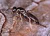 Roptrocerus xylophagorum