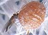 Anagyrus ananatis