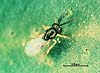 Tetracnemoidea brevicornis