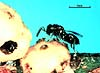 Moranila californica