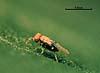 Aphelinoidea