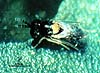 Coccophagus semicircularis