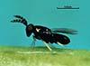 Coccophagus ceroplastae