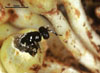 Sycomacophila montana
