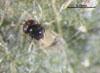 Idioporus affinis