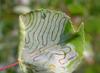 Closterocerus trifasciatus