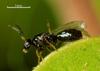 Quadrastichodella nova