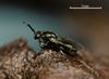 Torymus affinis