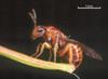Trichilogaster signiventris