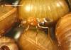 Anastatus tenuipes