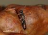 Eupelmus urozonus