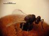 Eurytoma caninae