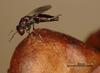 Pteromalus bedeguaris