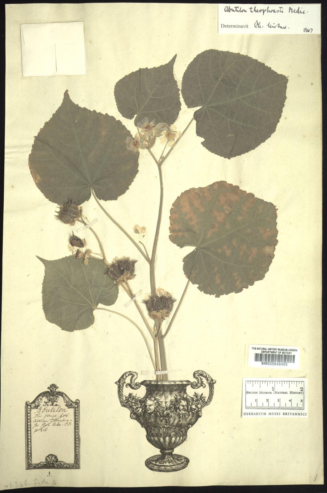 Sida Abutilon In The Linnaean Typification Project