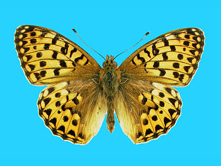 Specimen number 500008 - upperside