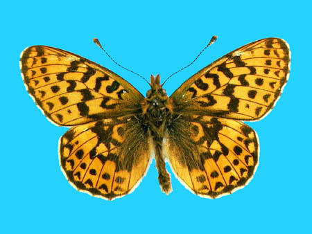 Specimen number 500073 - upperside