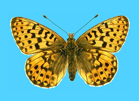Specimen number 500074 - upperside