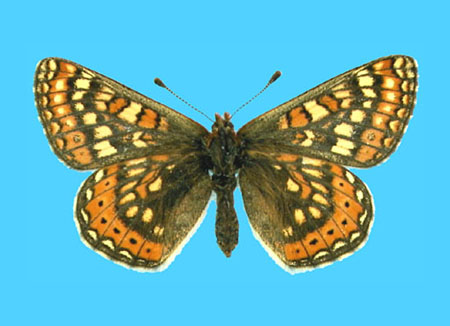 Specimen number 500114 - upperside
