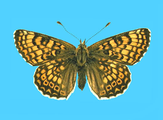 Specimen number 500148 - upperside