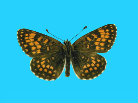 Specimen number 500158 - upperside