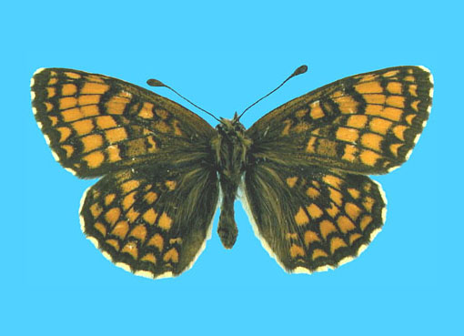 Specimen number 500159 - upperside