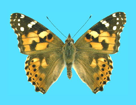 Specimen number 500181 - upperside