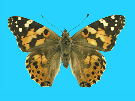 Specimen number 500182 - upperside