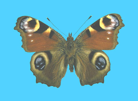 Specimen number 500190 - upperside