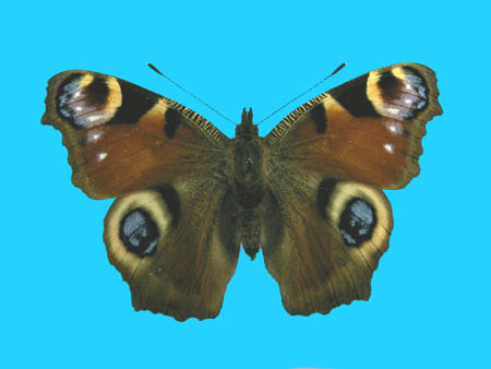 Specimen number 500191 - upperside