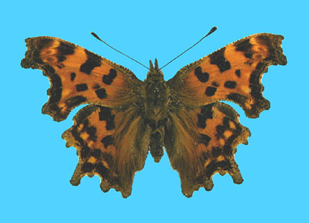 Specimen number 500233 - upperside