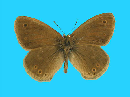 Specimen number 500342 - upperside