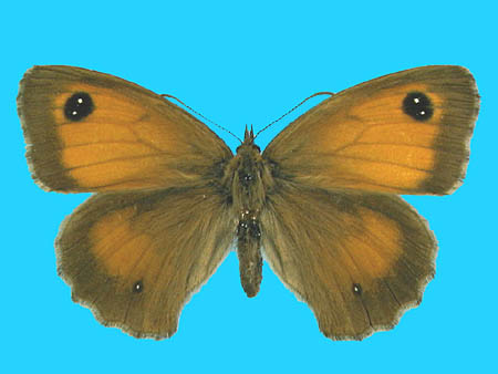 Specimen number 500440 - upperside
