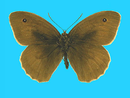Specimen number 500464 - upperside