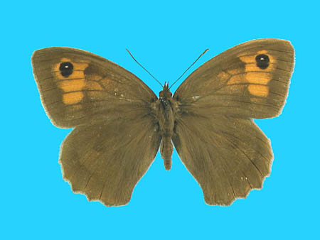 Specimen number 500465 - upperside