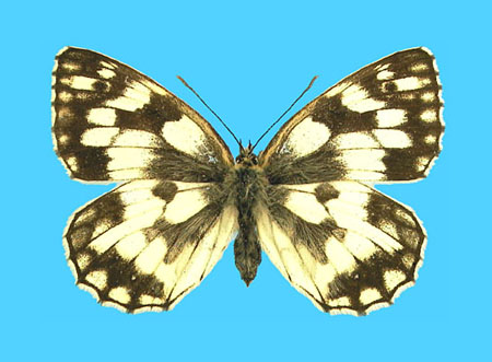 Specimen number 500505 - upperside