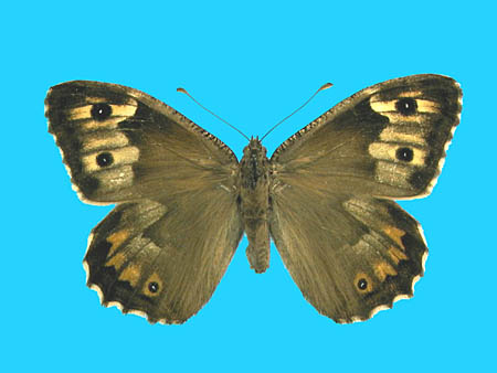 Specimen number 500523 - upperside