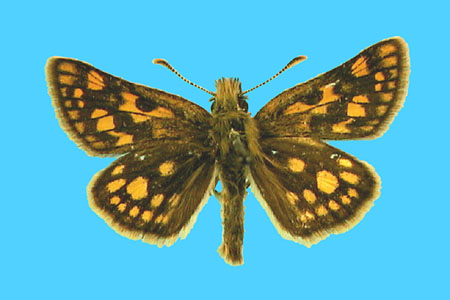 Specimen number 500561 - upperside