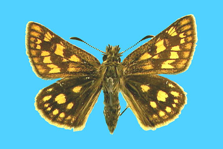 Specimen number 500562 - upperside