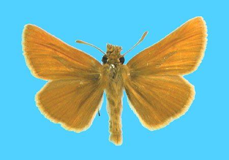 Specimen number 500586 - upperside