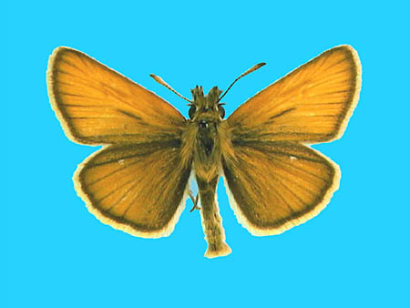 Specimen number 500590 - upperside