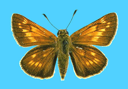 Specimen number 500619 - upperside
