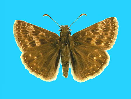 Specimen number 500630 - upperside