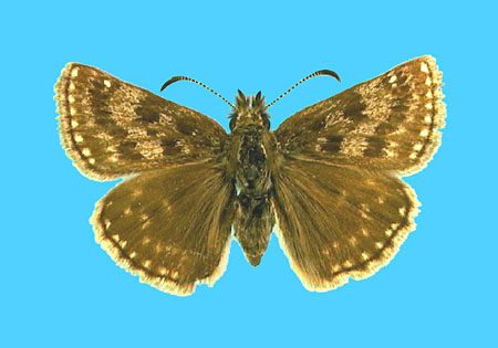 Specimen number 500631 - upperside