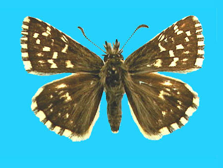 Specimen number 500650 - upperside