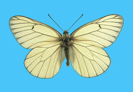 Specimen number 500736 - upperside