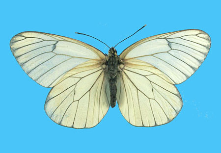Specimen number 500737 - upperside