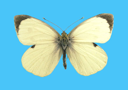 Specimen number 500744 - upperside