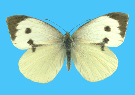 Specimen number 500745 - upperside