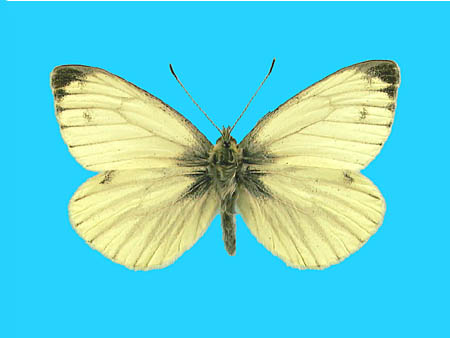 Specimen number 500784 - upperside