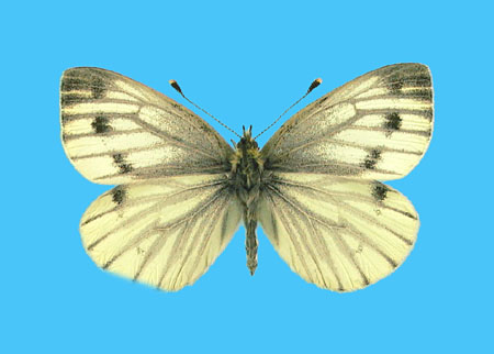 Specimen number 500785 - upperside